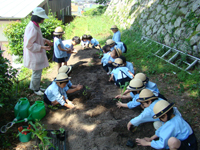 柳井幼稚園 子育て支援 野菜の栽培・収穫